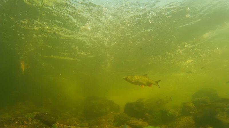 Маленький Голавлик катается на течении<br />Ссылка на видео https://youtu.be/zHSa_bDiaQI